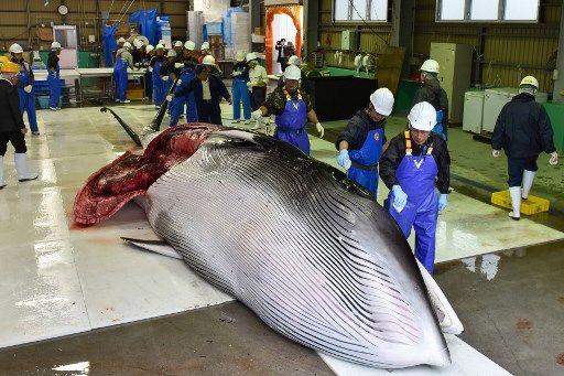 La chasse aux baleines reprend au Japon