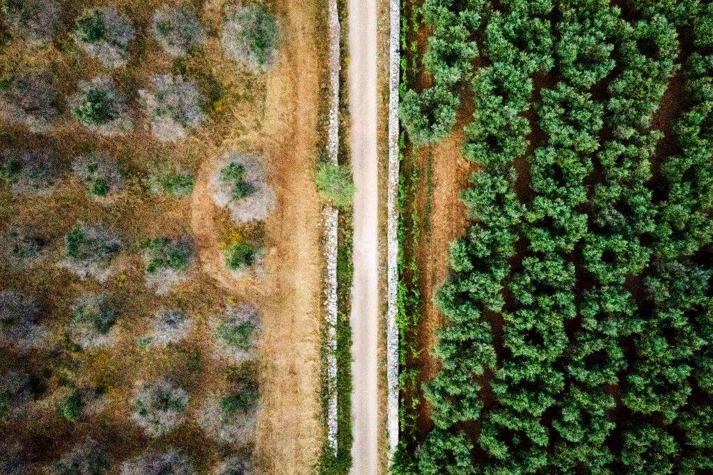 oliviers arbres menace