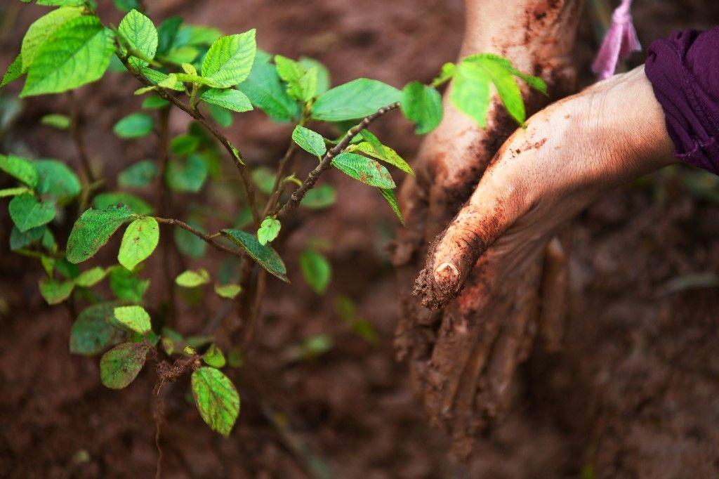 Planter des arbres n'est pas toujours bon pour la planète