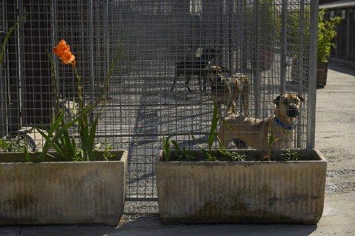 Des chiens dans un refuge de la SPA, en août 2019.