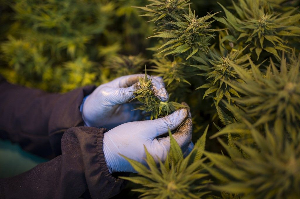 Des plants de cannabis.