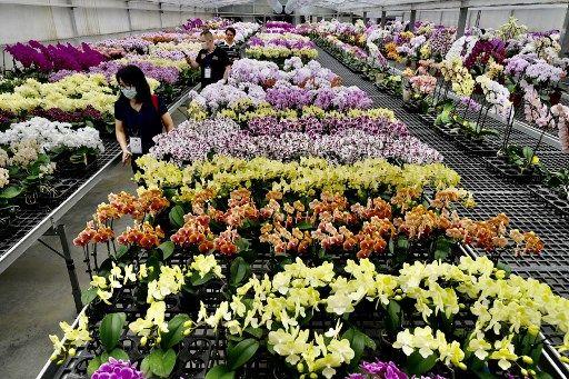 Des millions d'orchidées sont jetées par le premier exportateur mondial en Thaïlande
