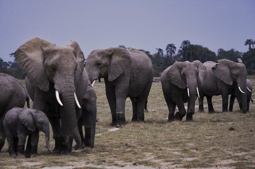 Des éléphants au coeur du parc national d'Amboseli (à 365 kilomètres au sud-est de la capitale Nairobi) près d'Oloitiktok dans le comté de Kajiado est, le 12 août 2020.
