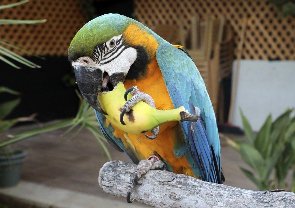 Au Royaume-Uni des perroquets ont dû être déplacés à cause de leur langage choquant