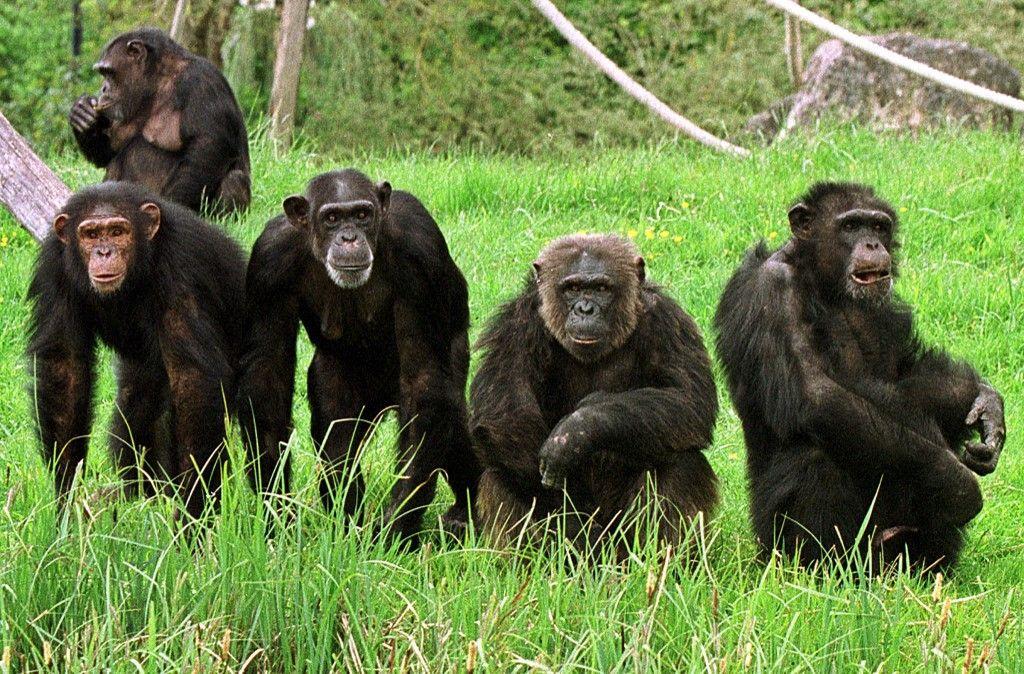 Cinq des vingt chimpanzés du zoo de Beauval vaquent à leurs occupations, le 04 mai 2001 à Saint-Aignan.
