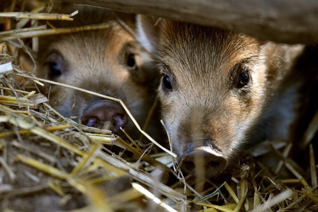 Doubs : un sanglier se réfugie dans une habitation... suivi par trois chasseurs et des chiens