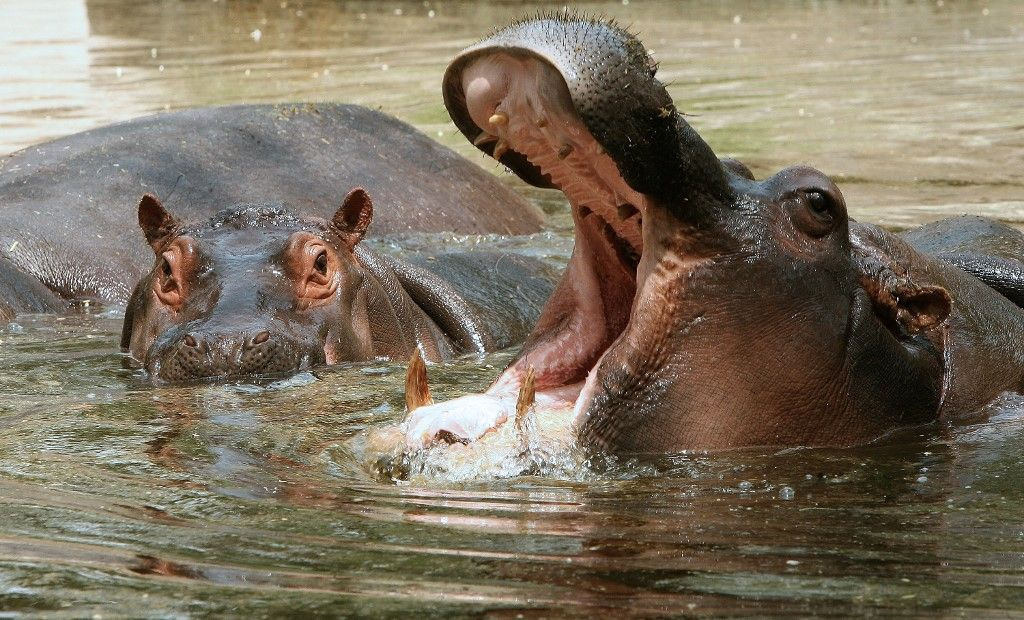 hippopotames Pablo Escobar Colombie environnement
