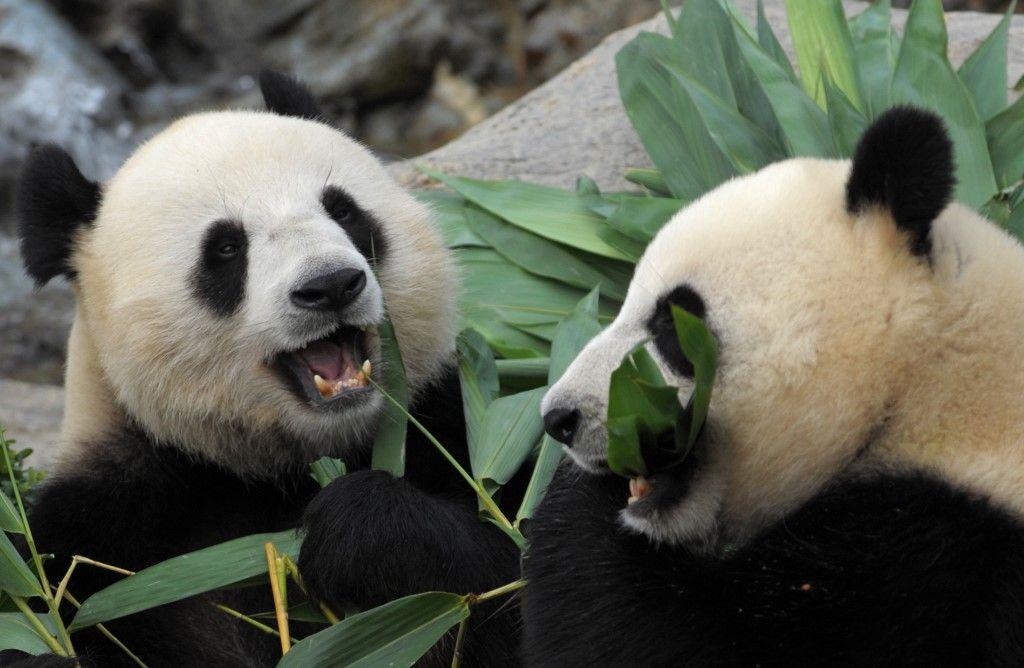 Chine : le plus vieux panda en captivité est mort