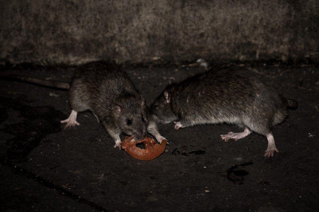 Ce que les rats des villes sont devenus avec la pandémie