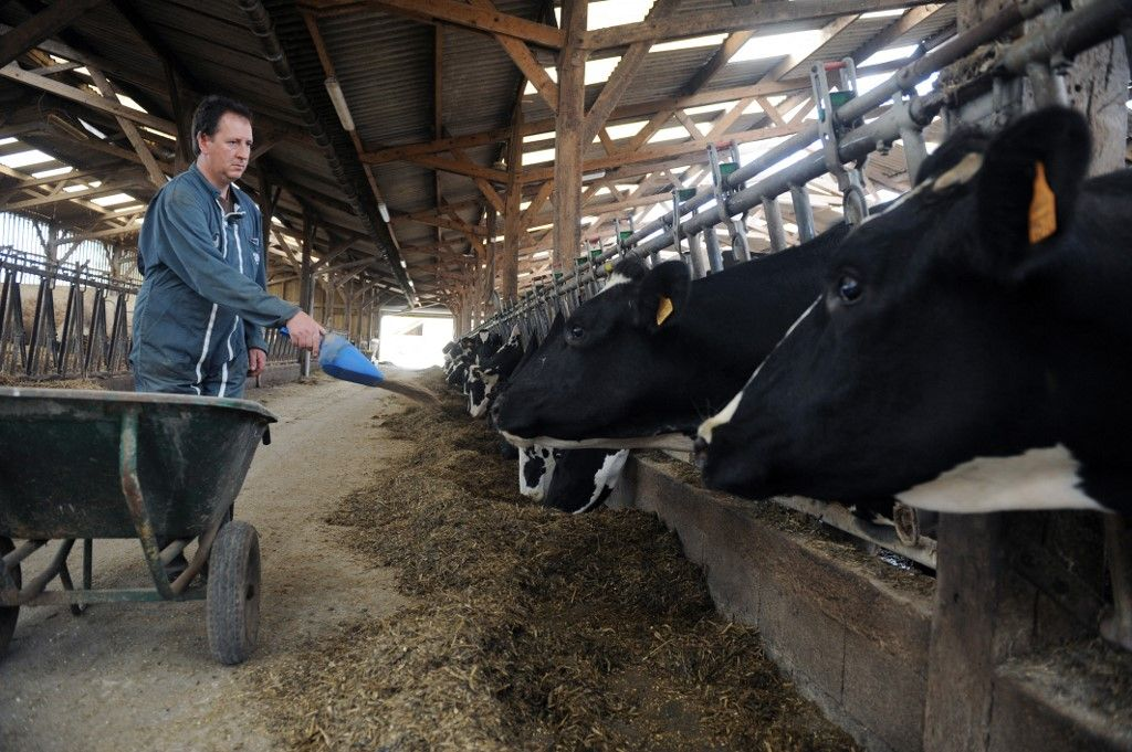 Un éleveur laitier nourrit ses vaches, le 09 septembre 2009, dans son exploitation au Rheu, en France.