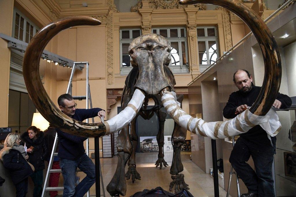 Le squelette d'un mammouth qui a été mis aux enchères. Le développement du cerveau humain et la disparition des grands mammifères seraient liés