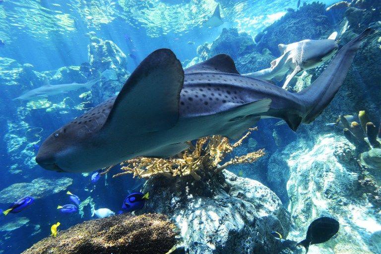 Des espèces rares de requins et de raies menacées de disparition