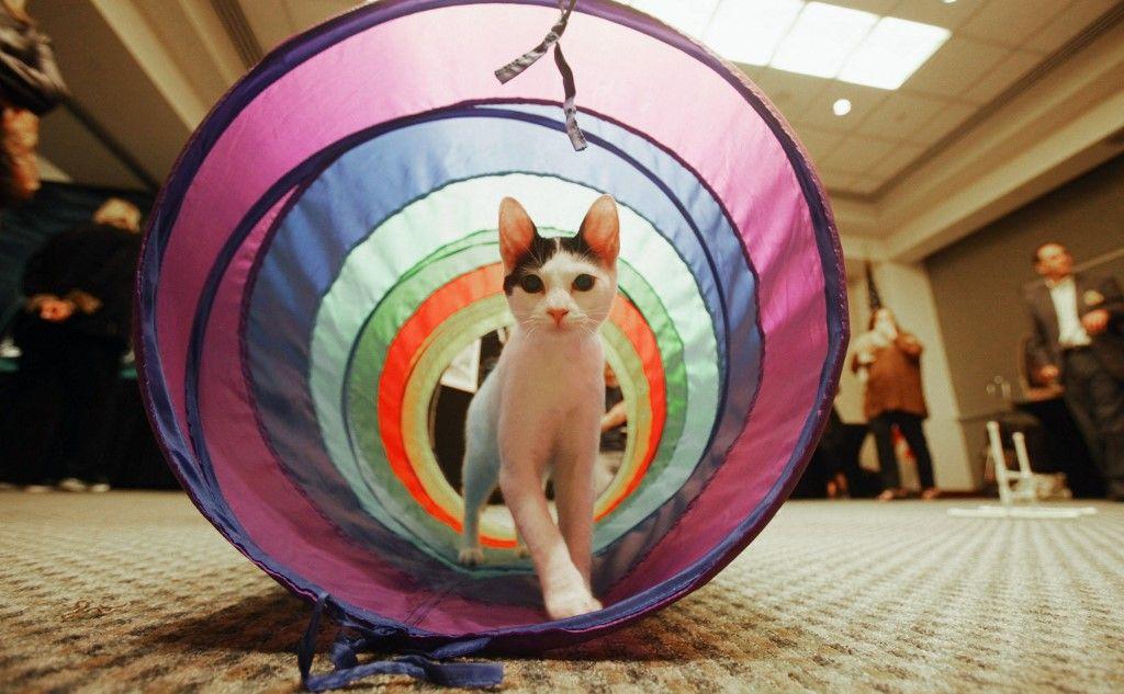 Un chat traverse un parcours d'obstacles lors d'un aperçu de la presse pour l'événement Meet the Breeds le 13 octobre 2010 à New York.