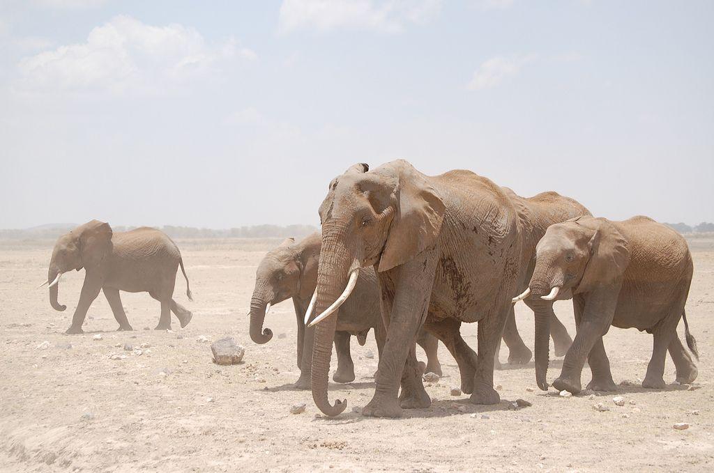 En Chine des éléphants étaient accros à l'héroïne