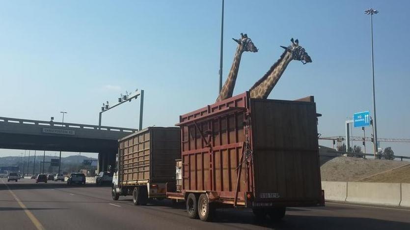 La girafe qui a heurté le pont a succombé à ses blessures