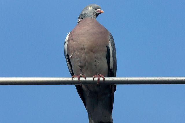 Un pigeon a réussi un exploit en ralliant le Japon au Canada, soit 8 000 kilomètres
