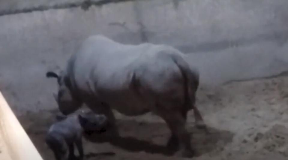Une femelle d'une espèce rare de rhinocéros vient de naître en Angleterre