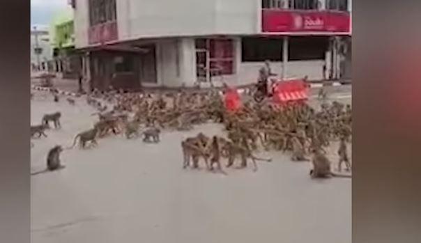 Thaïlande : des groupes de centaines de macaques se battent en pleine rue