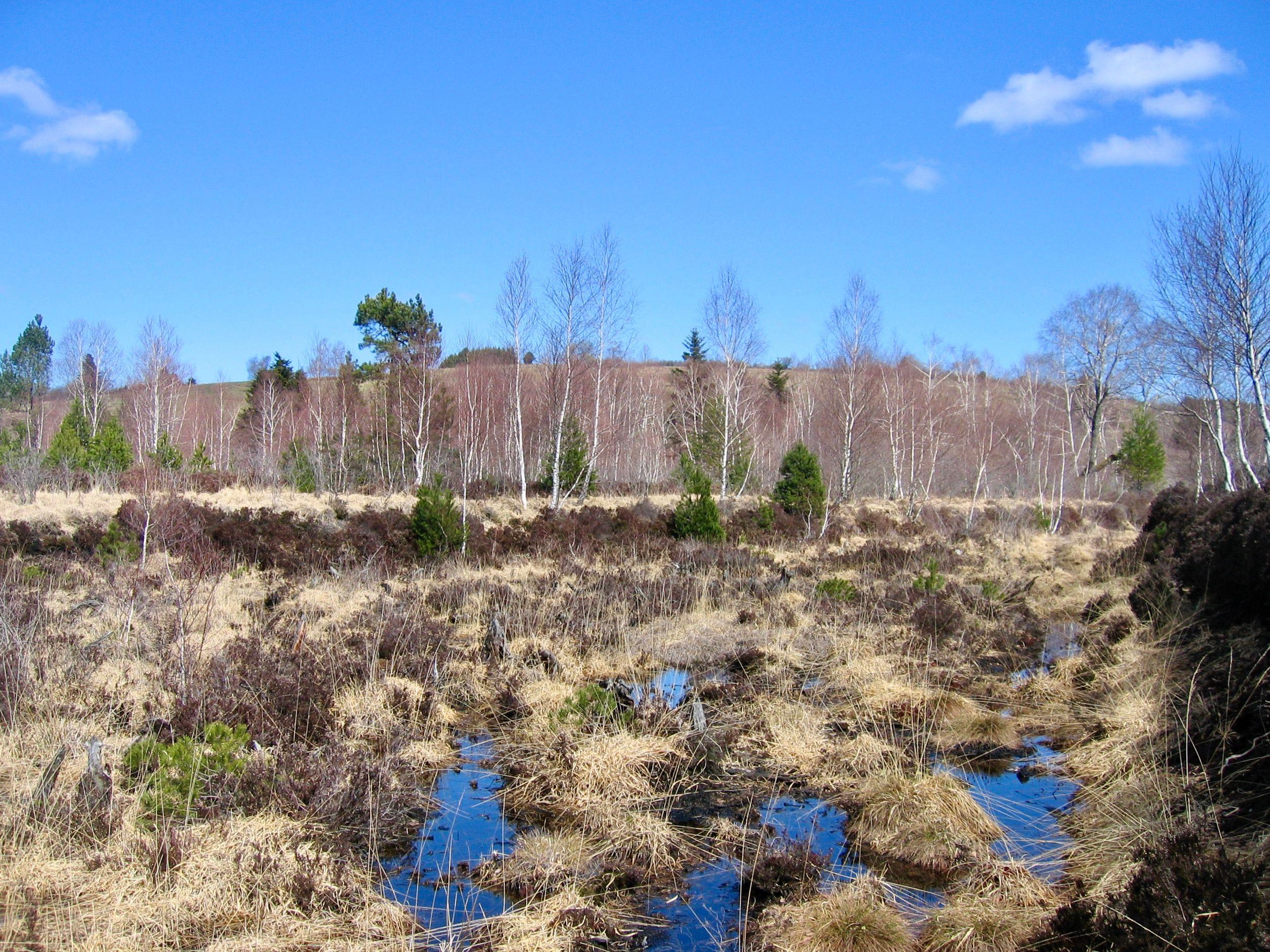 Une tourbière pyrénéenne en voie de colonisation par des espèces ligneuses suite à son drainage.