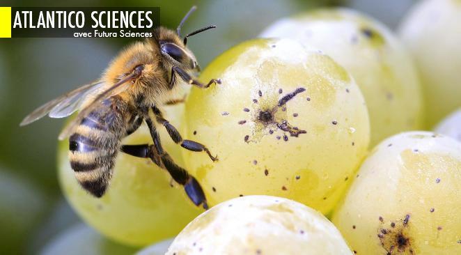 Des chercheurs équipent des milliers d'abeilles… avec des capteurs ; Bientôt des superordinateurs grâce à la spintronique à supraconducteurs ?