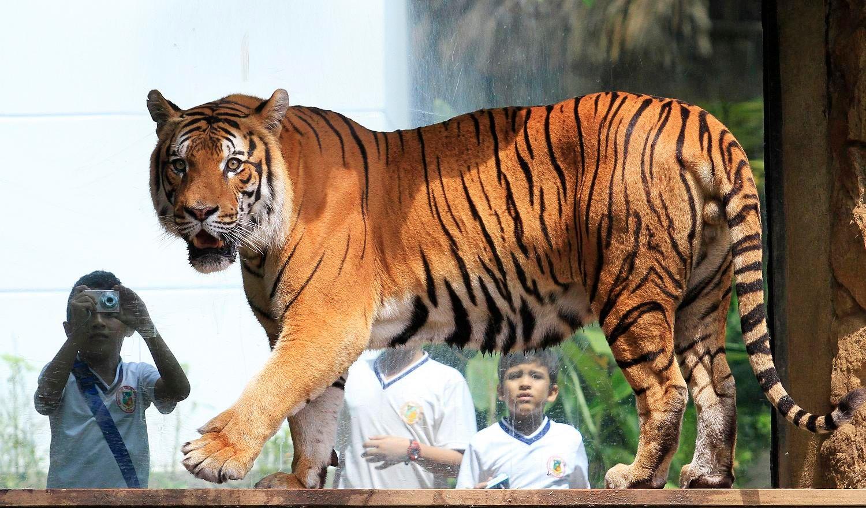 Chine : un homme condamné à 13 ans de prison pour avoir acheté et mangé des tigres