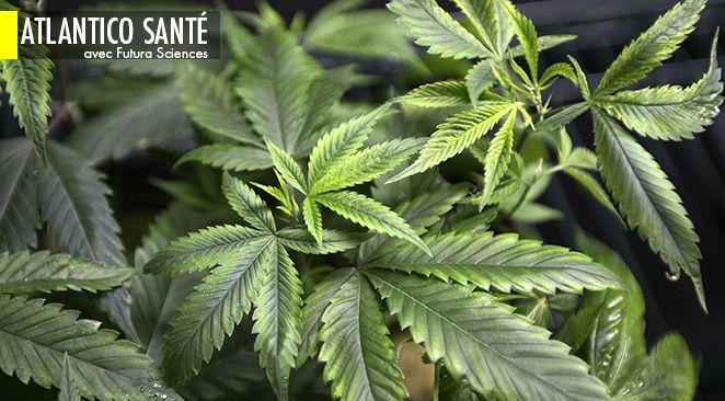 Originaire d'Asie, le cannabis est depuis toujours dans les mains de l'Homme.