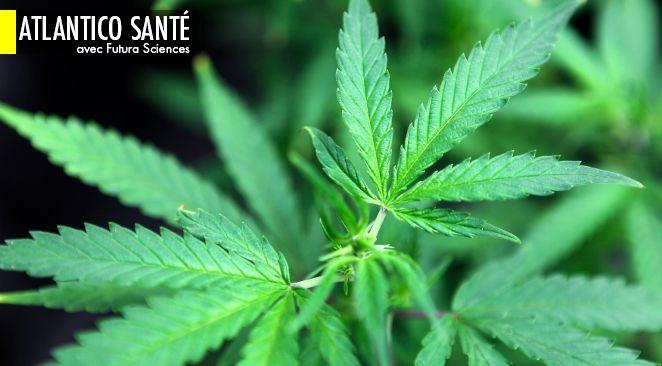 Depuis la mise en application d'un décret, ce samedi 8 juin, l'ANSM a désormais le pouvoir d'autoriser la mise sur le marché d'un médicament à base de cannabis ou ses dérivés, si elle le juge performant.