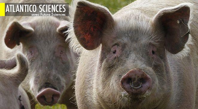 Crise de la filière porcine : les producteurs demandent une réunion d'urgence à Matignon