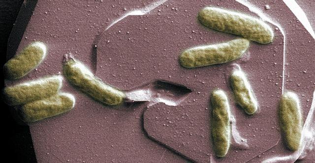 Ces bactéries pourraient permettre de produire de l'électricité