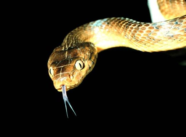 L'anaconda jaune a été remis par la ligue pour le bien-être animal d'Arlington.