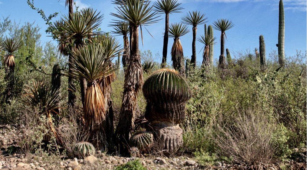 Une forêt de cactus dans la vallée de Tehuacan-Cuicatlan au Mexique en juin 2017.