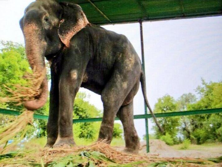 Raju, l'éléphant qui a retrouvé la liberté
