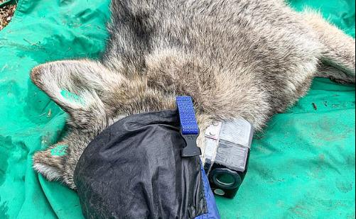 Caméra attachée au cou d'un loup