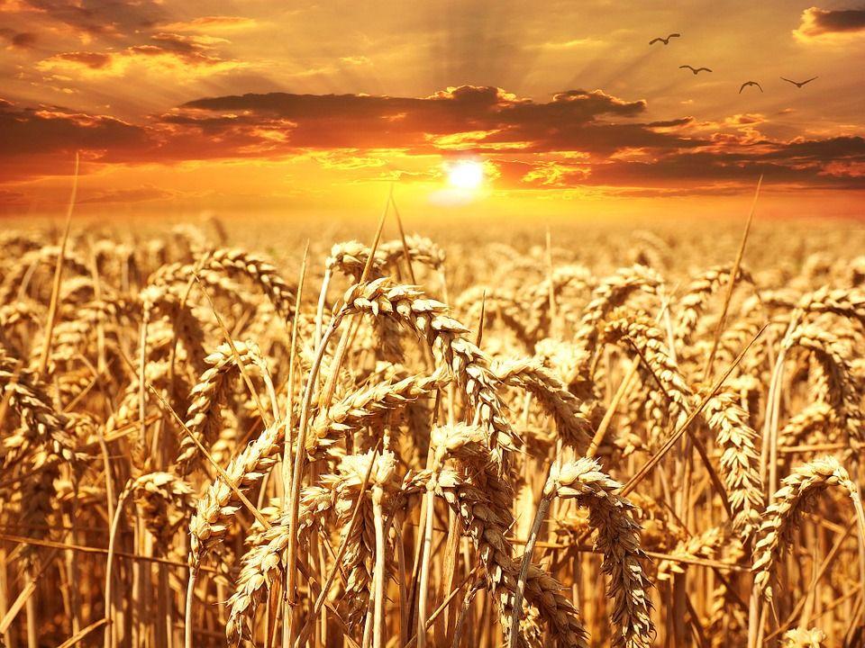 Pourquoi le développement des aliments sans gluten pourrait finalement avoir plus de justifications scientifiques que ce que l'on croyait