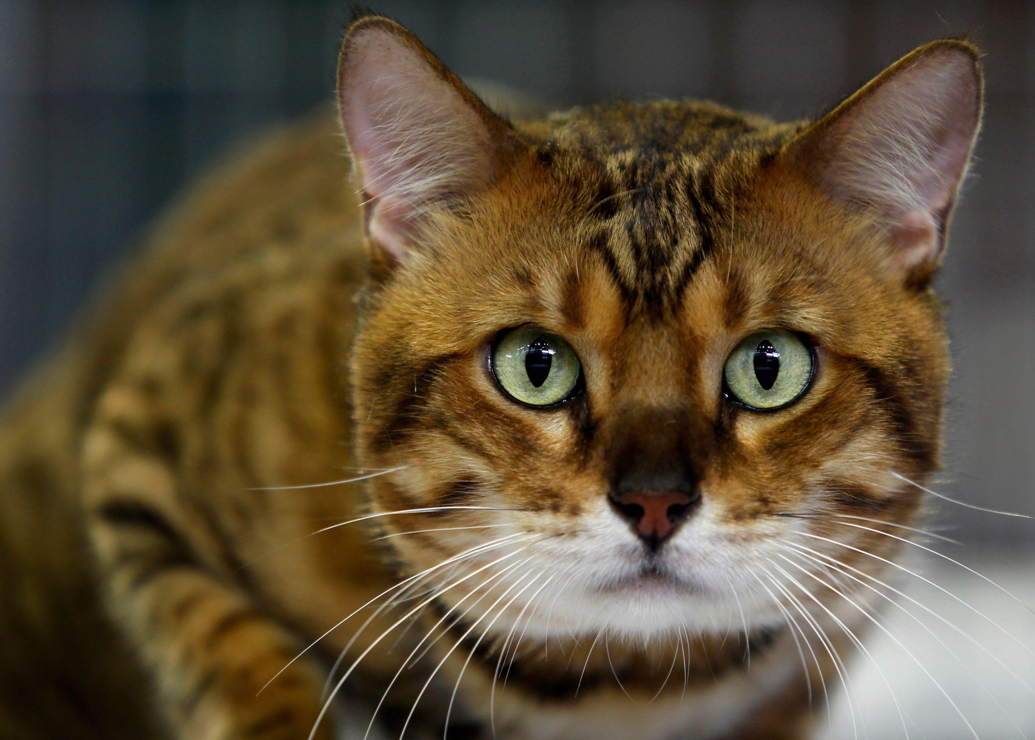 L'université de Leicester a créé un fichier génétique des chats du pays.