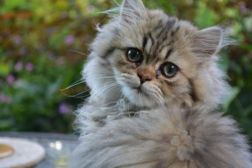 Contrairement aux idées reçues, les chats préfèrent l'affection des humains à leur nourriture