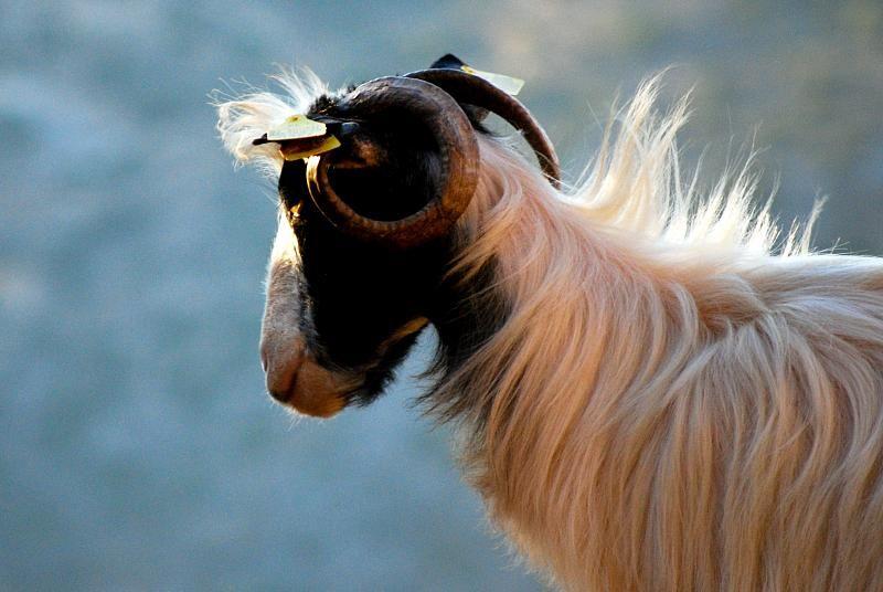 Les chèvres sont beaucoup moins bruyantes que les tondeuses