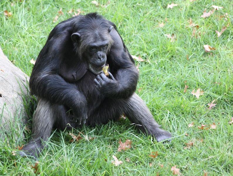 Les chimpanzés, eux aussi, savent tailler les pierres