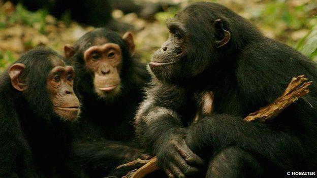 Dans certains jeux,  la stratégie employée par les chimpanzés est plus efficace que celle employée par les hommes.