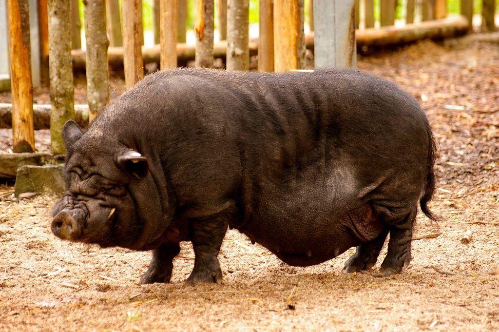 Le porc devin : futur star de l'Euro 2012