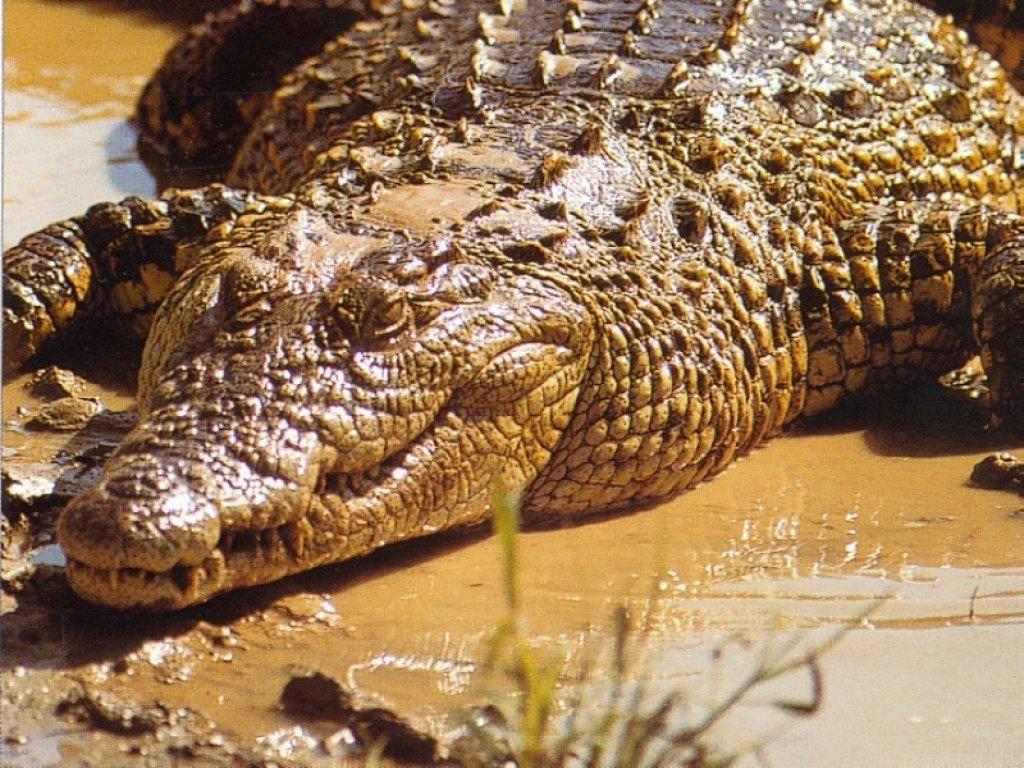 Les crocodiles ont profité des inondations pour s'échapper