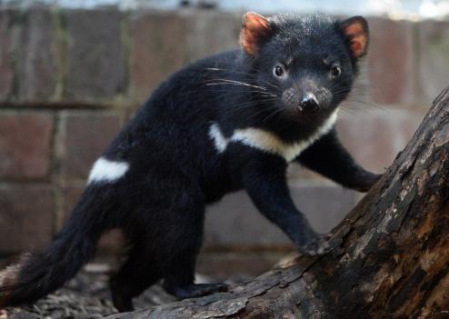 Le diable de Tasmanie sauvé ?