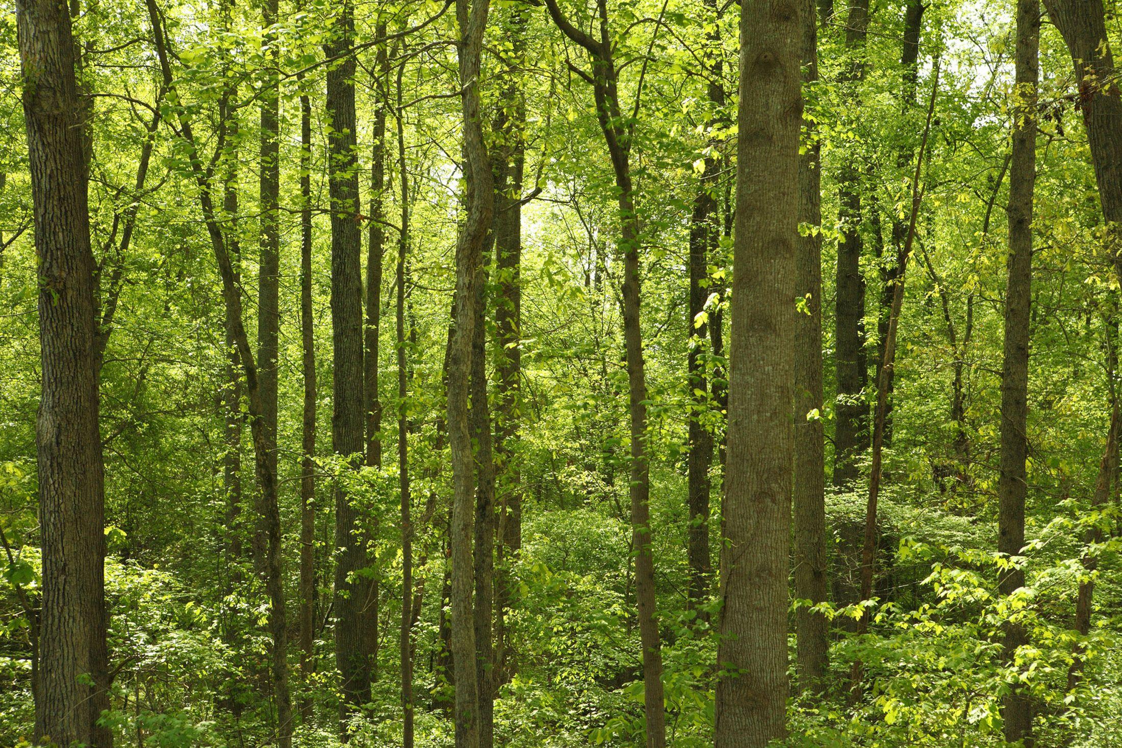 Comment l'odeur des forêts de pin contribue à limiter le réchauffement climatique