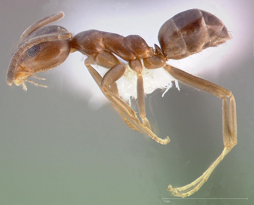 Voici comment les fourmis argentines ont conquis le monde et nos maisons