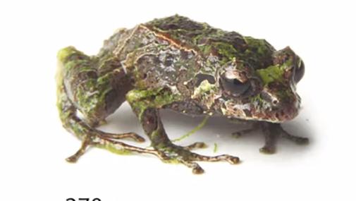 La grenouille Pristimantis mutabilis