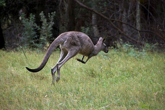 Un Australien préparait une attaque terroriste en camouflant des explosifs dans un kangourou