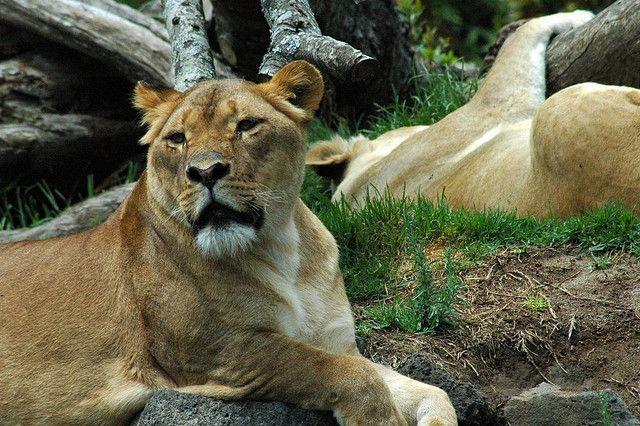 Danemark : après Marius le girafon, le zoo de Copenhague tue quatre lions