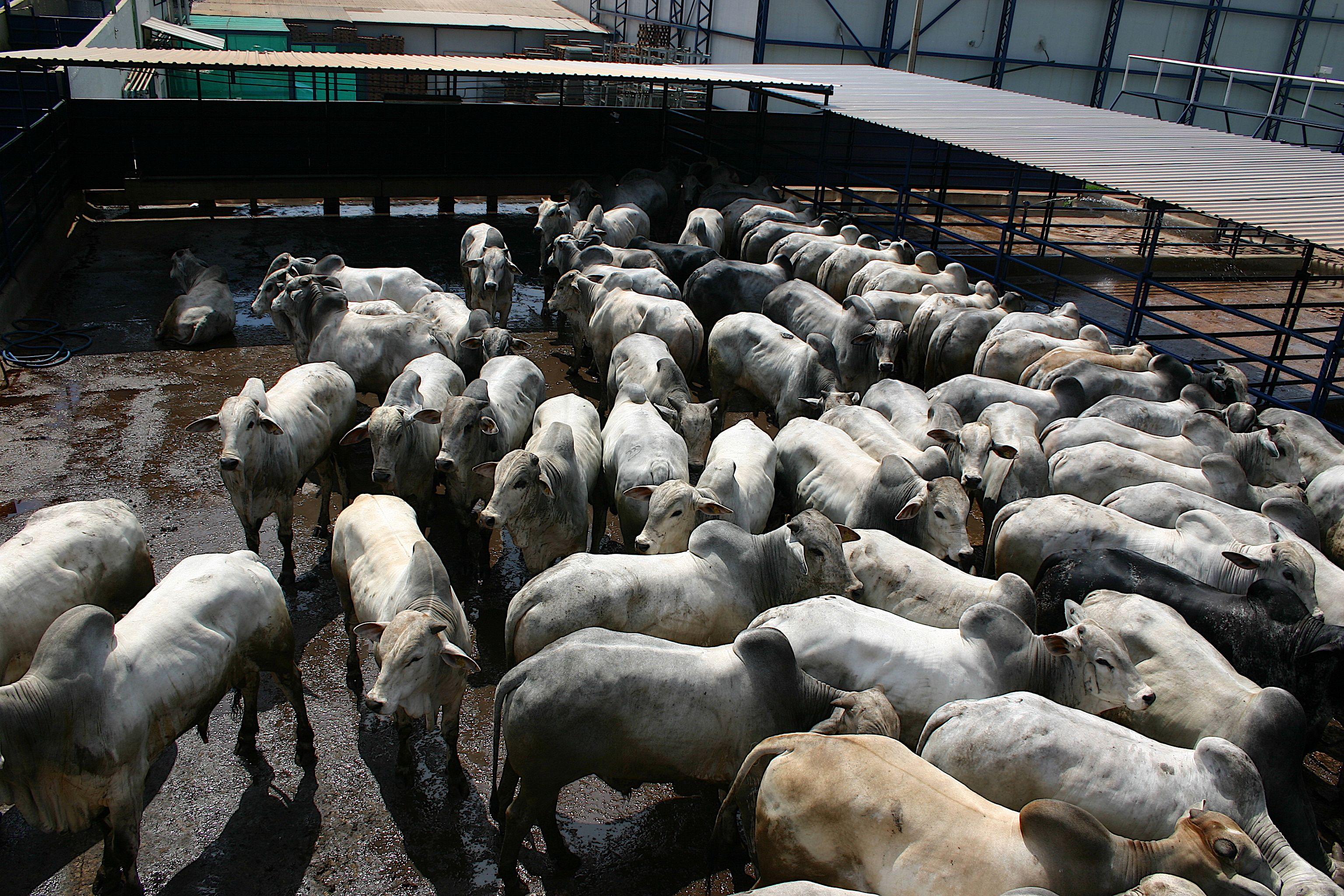 Prévue dans le cadre de l'accord de libre-échange Europe-Mercosur, la viande bovine brésilienne ne répond pas à nos critères sanitaires