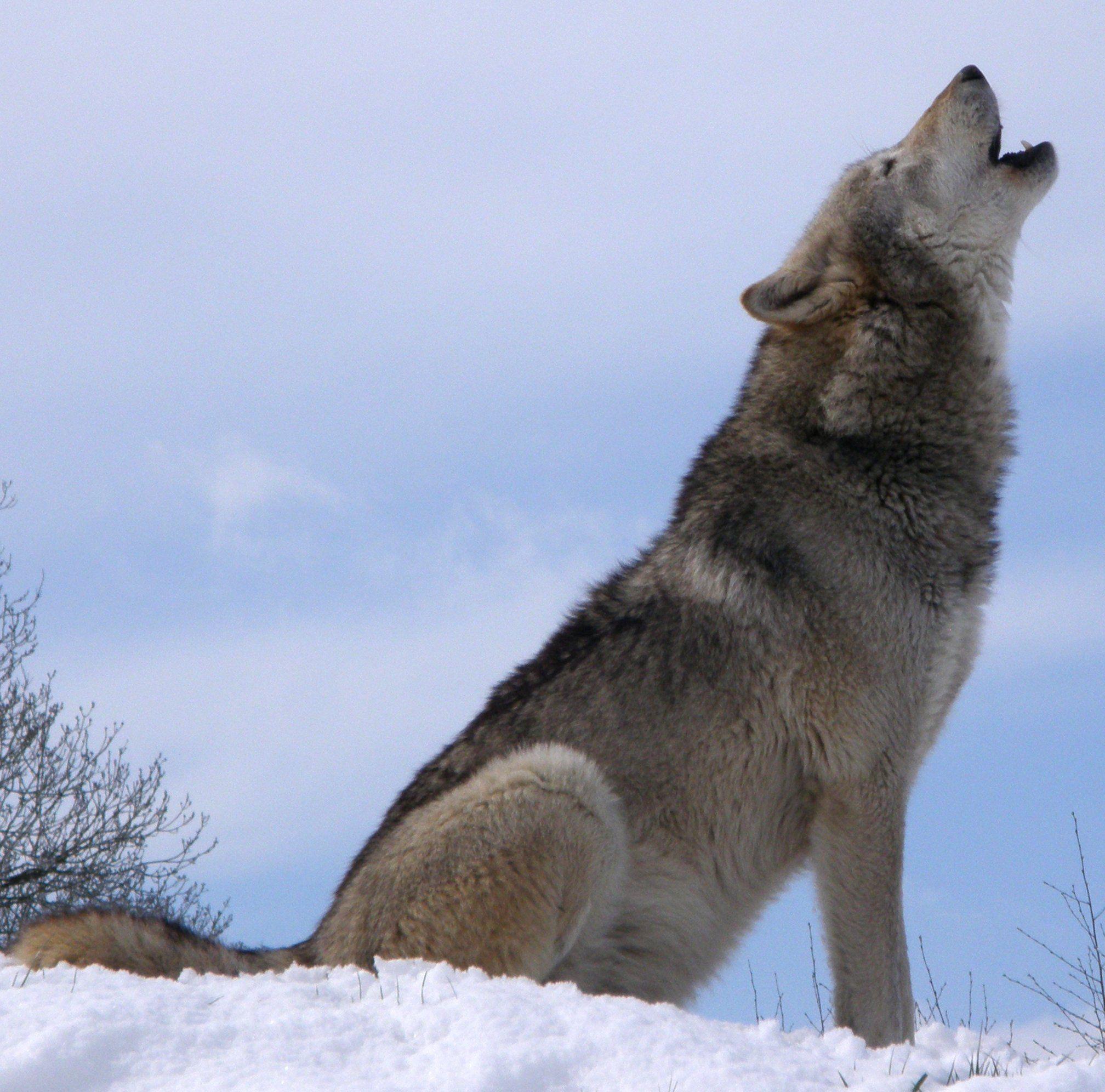 L'écologiste est doux comme un agneau, sauf quand il devient féroce comme un loup.