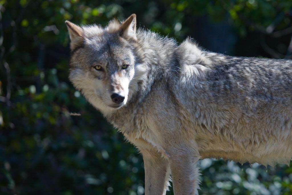 Attaques de loups : les bergers de montagne n'en peuvent plus et le font savoir avec une vidéo choc